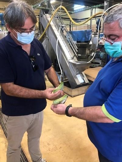 AloeSolBio : Angélo Parrat en train de vérifier la qualité des feuilles d'Aloe Vera coupées