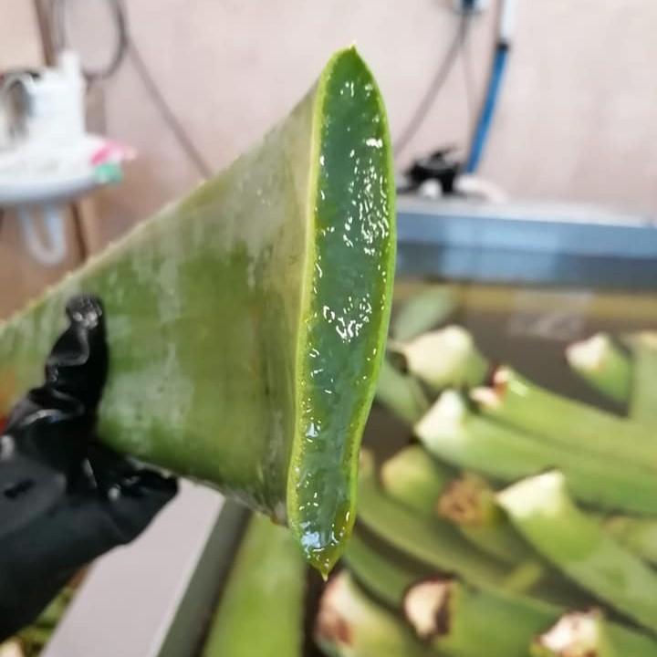 Atelier AloeSolBio : Feuille d'Aloe Vera coupée