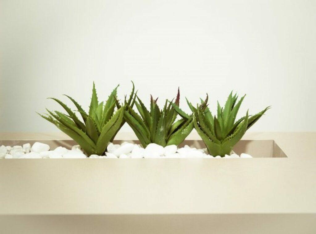 Plantation d'Aloe Vera à l'intérieur